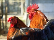 New Poultry Nutrition Studies Presented at JRA