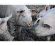 The 3rd Lallemand Swine Nutrition and Gut Health Solution technical meeting