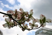 Three new ornamental dogwoods introduced