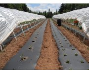 Polyethylene mulch, glazing create optimal conditions for soil solarization