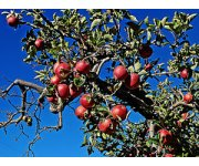 Machine harvesting may increase apple supply for hard cider market
