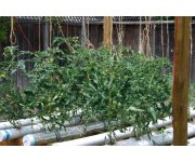 Abscisic acid treatments can prevent tomato blossom-end rot