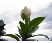 Water content thresholds recommended for Gardenia jasminoides