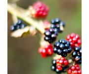 Liquid corn, fish fertilizers `good options` for organic blackberry production