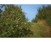 Sandwich system found effective in organic apple orchards