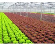 End-of-production LED Lighting Increases Red Pigmentation in Lettuce