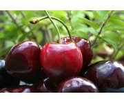 Malic Acid Encourages Sweet Cherry Cracking