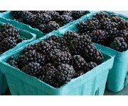 Rotating Trellis Boosts Profits for Blackberry Growers