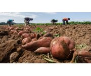 Study shows potential for sweetpotato production in Pacific Northwest