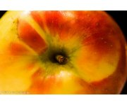 Preserving the best qualities of `Honeycrisp` apples
