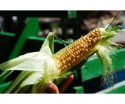 Corn set to reduce incidence of blindness