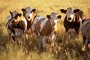 Cattle on Feed Lower Than Pre-Report Estimates