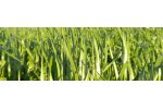 Tillage RootMax - Cover Crop Ryegrass