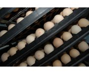 Researchers Evaluate Best Practices for Shell Egg Sanitization