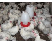 Researchers Develop New Ammonia-Oxygen Monitoring System for Poultry Houses
