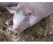 Producers, Veterinarians Invited to Discuss the PED Virus and Other New Coronaviruses Affecting Swine