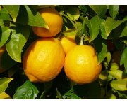 Updated Florida Citrus Rootstock Selection Guide available July 20, 2015