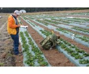 UF/IFAS research finds ways to save water, strawberries and money during cold temps