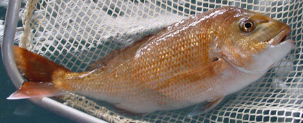 Fish that has been treated with AQUI-S