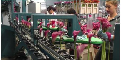 Calla  - Sorting and Bunching Machine