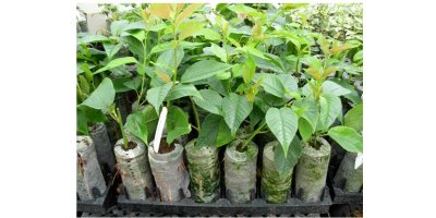 Jiffy-7 Forestry - Eucalyptus Cuttings