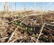 Root strength in OSR and winter cereals