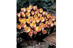 Advance Botanical Crocus