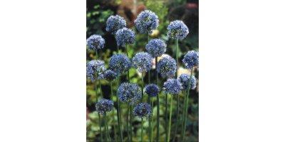 Azureum Allium