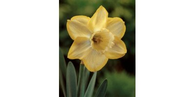 Binkie Large Cupped Daffodils