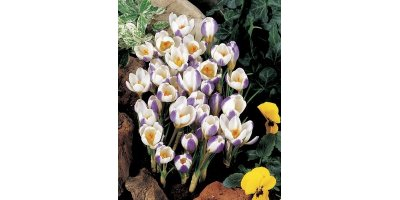 Blue Bird Crocus