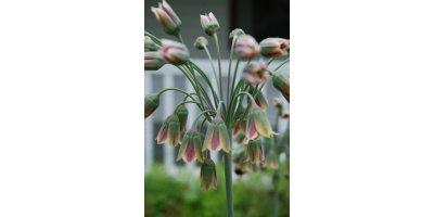 Bulgaricum Allium