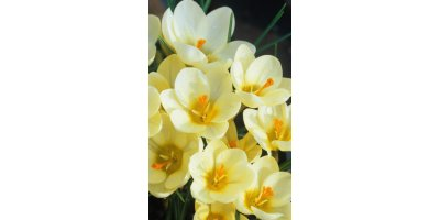 Cream Beauty Crocus