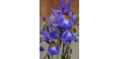 Blue Star Dutch Iris