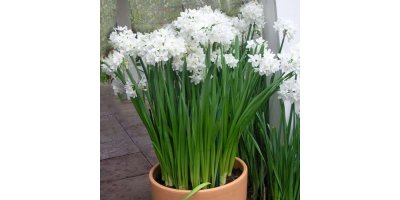 Paperwhite Ziva Indoor Narcissus