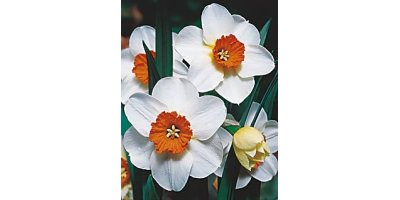 Barret Browning Large Cupped Daffodils