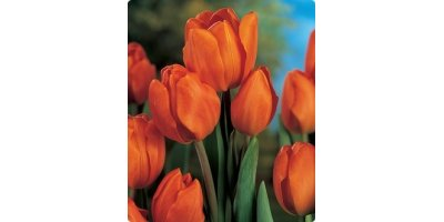 Orange Bouquet Bunchflowering Tulips