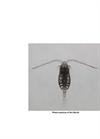 Parvocalanus Crassirostris Brochure