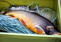 Arctic Charr and Lake Trout