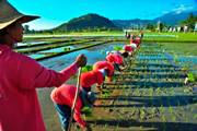 150th Harvest from World`s Longest-Running Continuous Rice Experiment