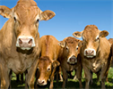 Plan-A-Head - Beef Herd Management Software Program, Beef Management System