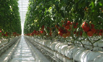 Fogging Technology for Greenhouse Humidification and Cooling Solutions - Agriculture - Horticulture