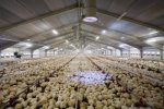 Technologies for Poultry