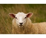 Common Sheep Diseases