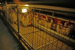 Residence Parent Stock Cages System