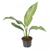 Aglaonema B.J. Freedman