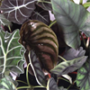 Alocasia Mix