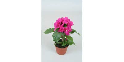Vera Vera  - Model Deep Purple - Bougainvillea