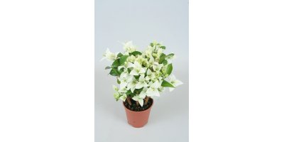 Rijnstar  - Model White - Bougainvillea