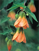 Abutilon 'Bartley Schwarz' (Bartley Schwarz Flowering Maple)