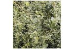 Model 2 Litre Pot - 30-40cm - Pallet Deal of 50 - Euonymus fortunei `Emerald Gaiety` (Spindle)